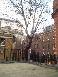 Plane tree at the location of St. Bride's Well